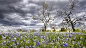 foto of bluebonnets  - Bluebonnets covering a rural field on a cloudy spring day in Texas - JPG