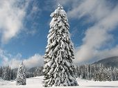 A Lonesome Pine Tree Covered With Fresh Snow