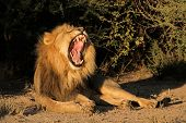 Big male African lion (Panthera leo) yawning, South Africa