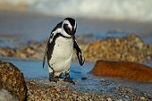 African penguin (Spheniscus demersus) on the beach, Western Cape, South Africa