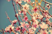 Close Up Of Pink Spring Blossom Flowers On Peach Tree In Springtime Against A Blue Sky - With Retro