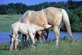 American Quarter Horse Colt Nursing