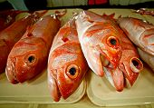 Red Grouper Fish