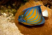 Bluering Angelfish In Aquarium