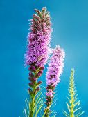 Liatris spicata flowers shot on blu background