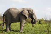 Adult African elephant side view