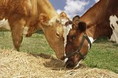 Closeup side view of two brown cows eating hay in field
