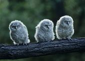 Three Owlets on a Branch