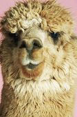 Extreme closeup of an Alpaca against pink background