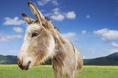 Closeup of a donkey standing in field against blue sky