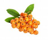 Orange Ashberry Isolated On The White Background