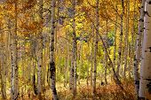 Colorful Aspen trees in autumn time