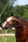 image of bridle  - Bay latvian sport horse with bridle funny portrait in summer - JPG