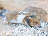 Sleeping Hamster.