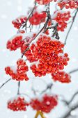 picture of mountain-ash  - Bunches of colorful mountain ash covered with snow - JPG