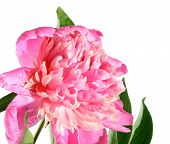 Pink Flower Of A Peony On A White Background.