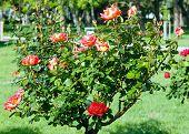 Spring Bush Of Red Rose Flowers