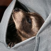 Baby Raccoon (procyon Lotor) Hangs Out In Sweatshirt Pocket
