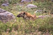 foto of hyenas  - A hyena wakes up on the East Serengeti plains - JPG