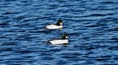 foto of duck pond  - Two male Common Goldeneye Ducks swimming on a pond with ripples - JPG