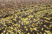 Autumn leaves on a plowed field