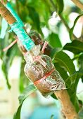 Plant Mango Trees Transplants Or Grafting Method.