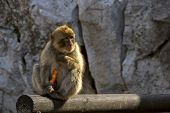 Monkey Sits On A Log And Eating Carrots