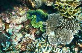 picture of clam  - Giant clam  - JPG