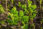 foto of rosa  - Young light green leaves of a budding Rosa Rugosa shrub at the beginning of the spring season - JPG
