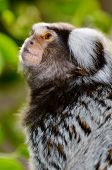 picture of marmosets  - Close up of small common marmoset monkey - JPG