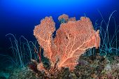 foto of coral reefs  - A large sea fan and whip corals on a deep coral reef - JPG