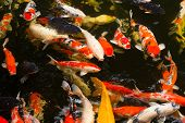 stock photo of common  - Common carps swimming in water - JPG