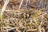 stock photo of bird egg  - Birds nest with eggs in the wild - JPG