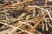 picture of bird egg  - Birds nest with eggs in the wild - JPG