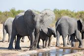 pic of calves  - Elephant calf drinking water on a dry and hot day - JPG