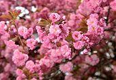 stock photo of sakura  - Spring time. Sakura.Sakura Flower or Cherry Blossom with Beautiful Background ** Note: Visible grain at 100%, best at smaller sizes - JPG
