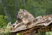 pic of mountain lion  - Mountain lion relaxing on a fallen tree trunk in a clearing near the woods - JPG