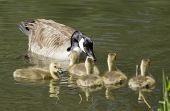 picture of mother goose  - A mother goose is with its goslings in the water at the Post Falls Dam park in Idaho - JPG