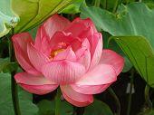 Lotus Flower Tokyo,Japan