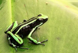 picture of poison arrow frog  - poison dart frog - JPG