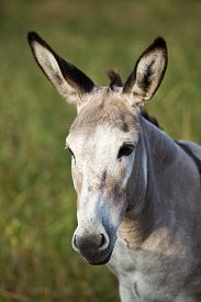 stock photo of headstrong  - cute donkey portrait from the side in profile - JPG