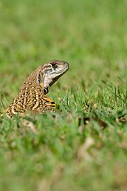 image of lizards  - Leiolepis commonly known as butterfly lizards or butterfly agamas are group of agamid lizards of which very little is known. 