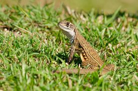 picture of lizards  - Leiolepis commonly known as butterfly lizards or butterfly agamas are group of agamid lizards of which very little is known. 