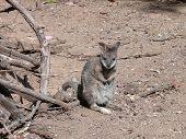 stock photo of tammar wallaby  - this is a tiny joey tammar wallaby exploring the world outside his mothers pouch - JPG