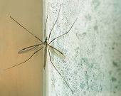 Crane Fly aka Daddy Longlegs At Rest