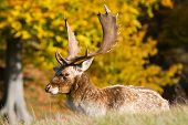 male fallow deer with large antlers
