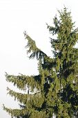 Pine Tree Lonesome In Nature poster