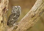 picture of screech-owl  - A capture of a screech owl perched in a tree - JPG