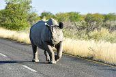 Постер, плакат: Black Rhinoceros Etosha National Park Namibia