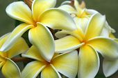 Frangipanis White  Yellow